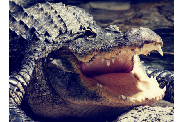 """Фирменная элегантная экзотическая задняя панель-крышка с фактурной отделкой натуральной кожи крокодила кофейного цвета для Huawei Honor 5X / 5X Play /  KIW-AL10 / Mate 7 Mini /GR5 5.5"""" . Только в нашем магазине. Количество ограничено"""