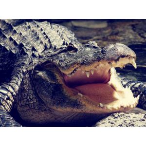 Фирменная элегантная экзотическая задняя панель-крышка с фактурной отделкой натуральной кожи крокодила кофейного цвета для Jiayu S3 . Только в нашем магазине. Количество ограничено.
