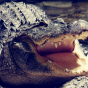 """Фирменная неповторимая экзотическая панель-крышка обтянутая кожей крокодила с фактурным тиснением для Meizu Pro 5 Mini тематика """"Африканский Коктейль"""". Только в нашем магазине. Количество ограничено."""